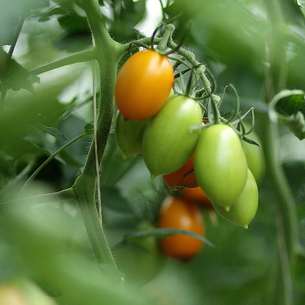bio tomaten ganzj hrig vom gem sehof schwienheer im kreis warendorf. Black Bedroom Furniture Sets. Home Design Ideas